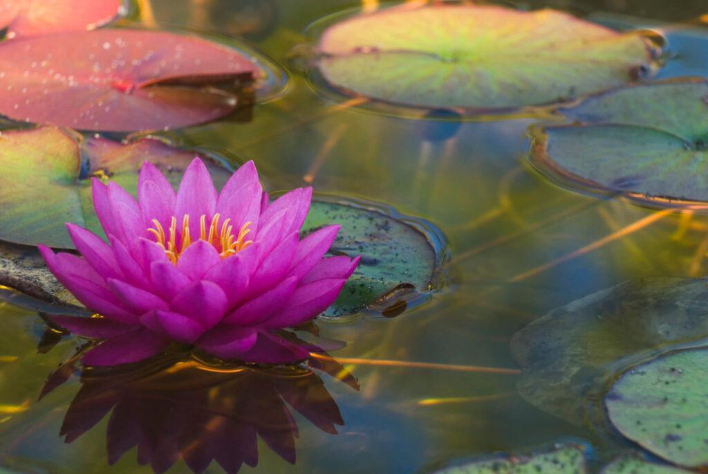 tipos de plantas aquáticas flor de lótus