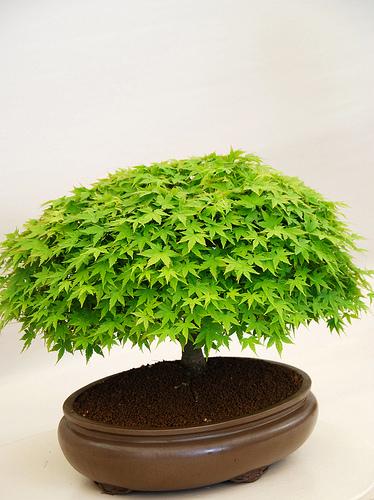 comprar bonsai barato