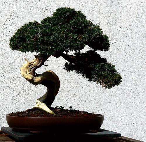 comprar bonsai grande