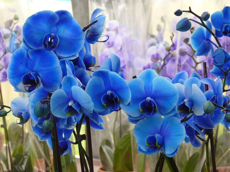 flores mais raras do mundo orquídea azul
