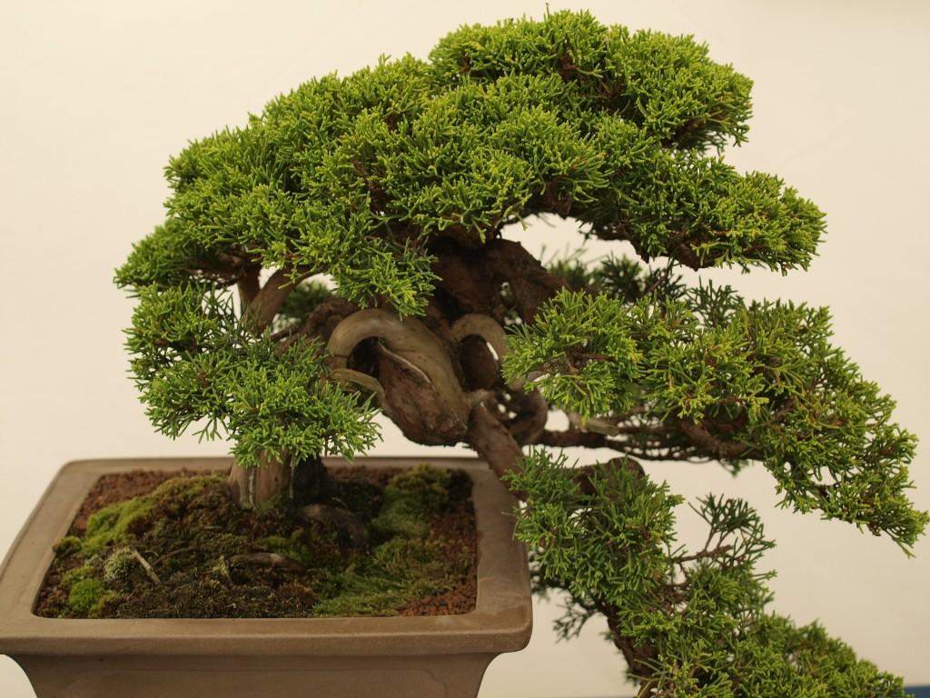 comprar bonsai belo horizonte