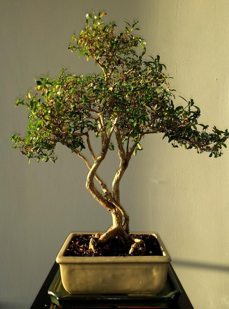 comprar bonsai bh