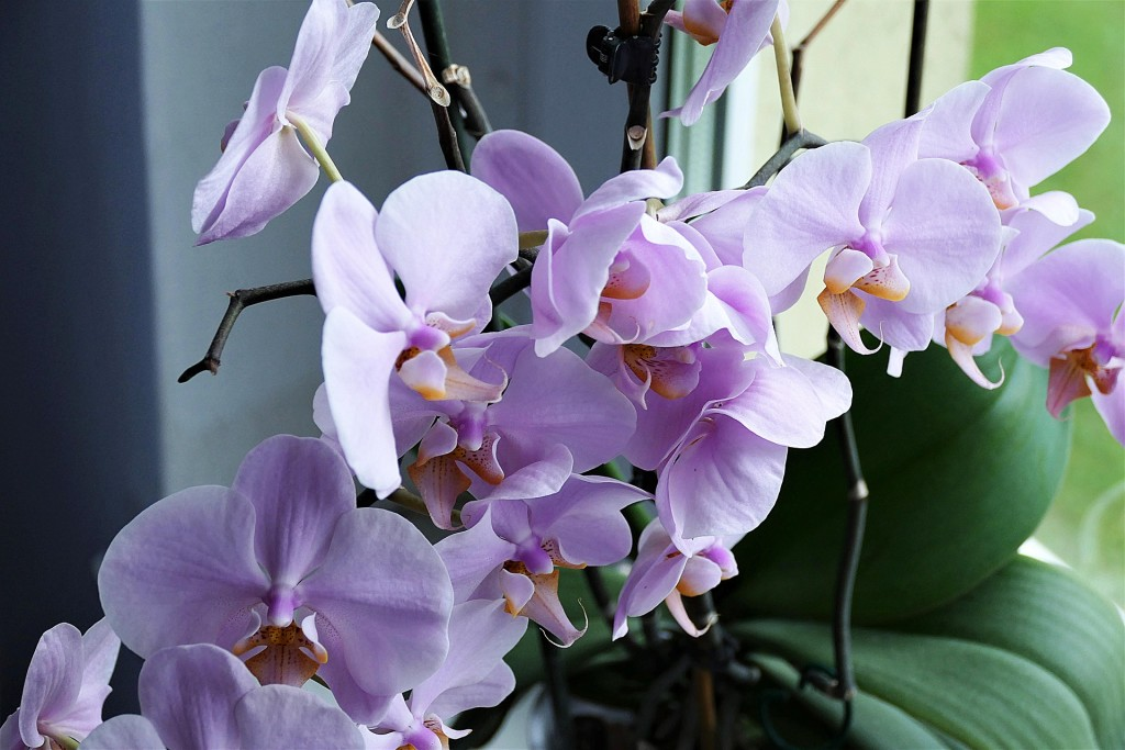 orchid-2667984_1920