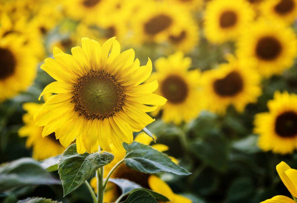 Flores para o verão