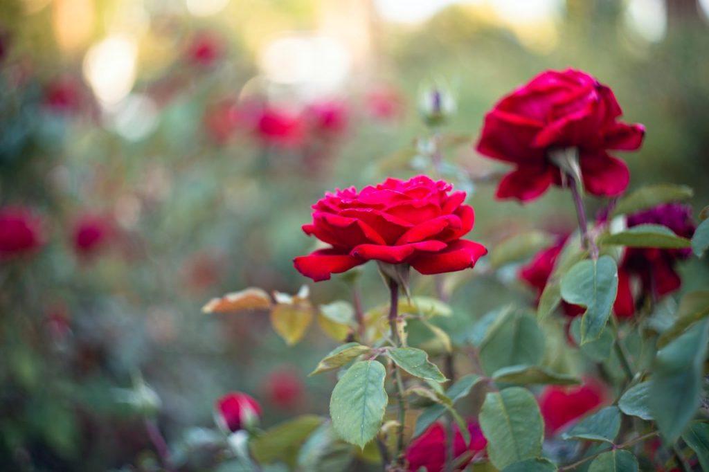 como cuidar de uma rosa