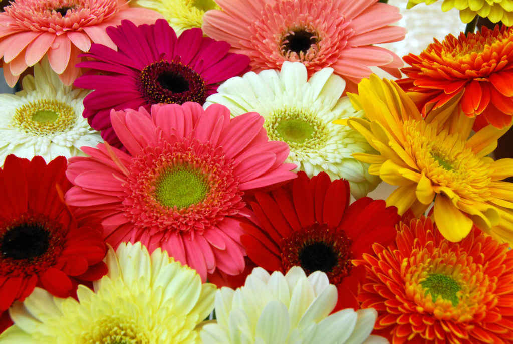significado das flores gérbera