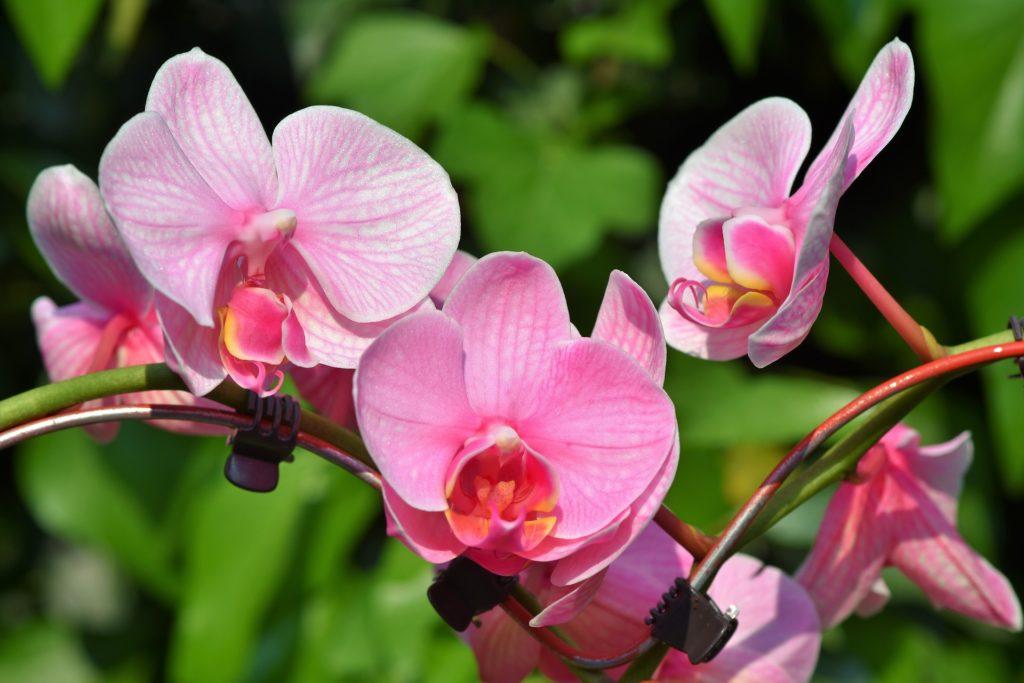 significado das flores oqruídea