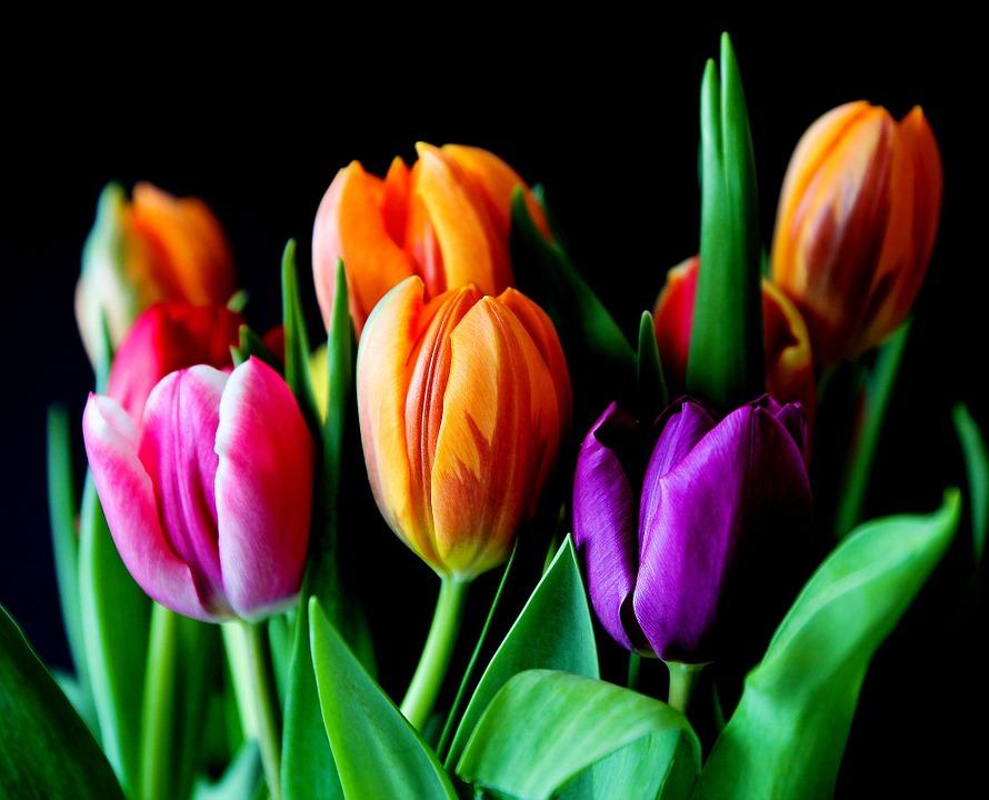 significado das flores tulipa