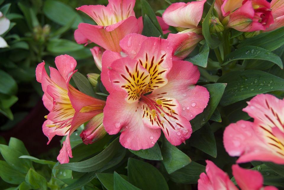 significado das flores astromélia