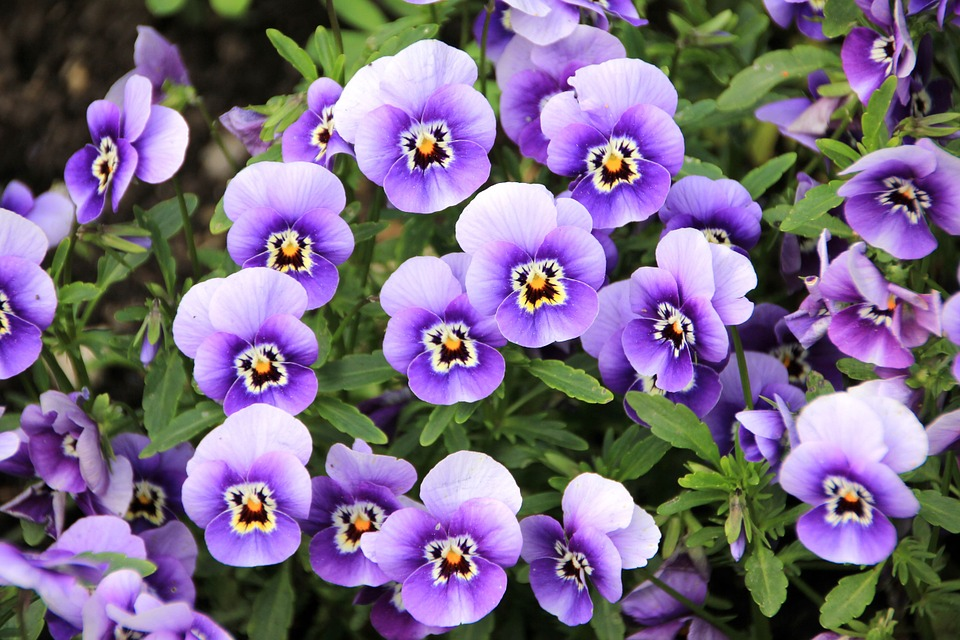 significado das flores violeta