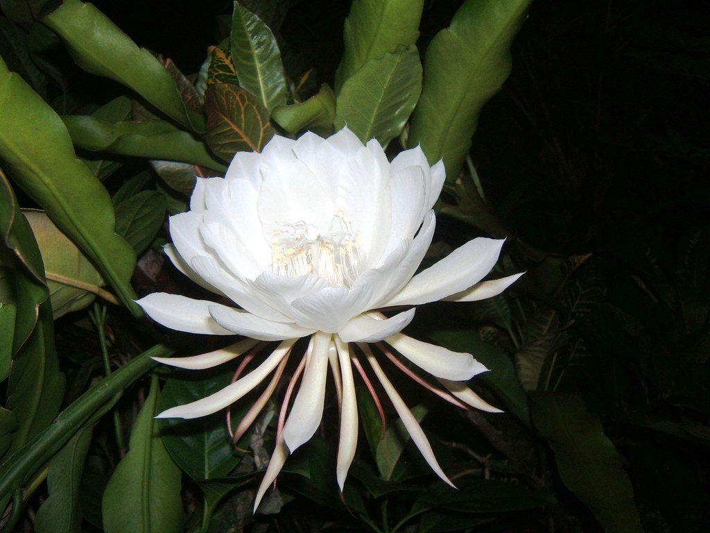 flores mais raras do mundo flor kadapul