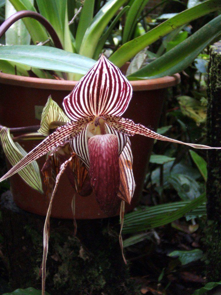 flores mais raras do mundo orquídea Dourada de Kinabalu