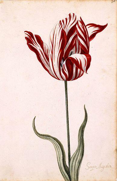 flores mais raras do mundo semper augustus
