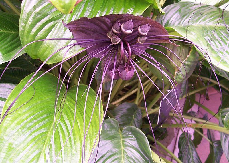 flores mais raras do mundo flor morcego preto