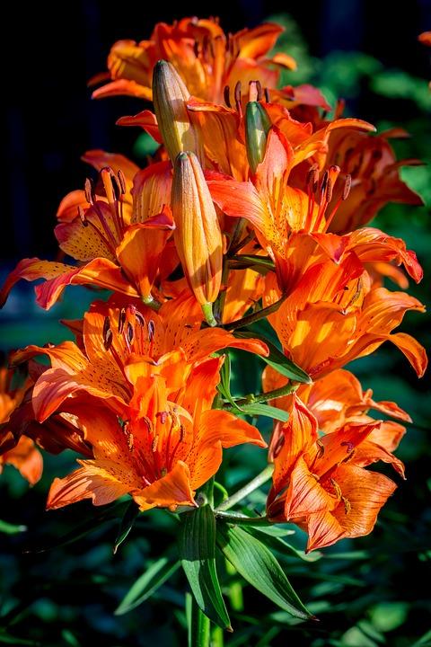 flores mais raras do mundo lírio de fogo