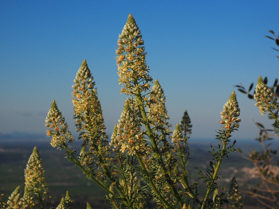 árvores que dão flores Resedá Amarela