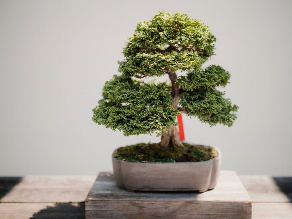 comprar bonsai