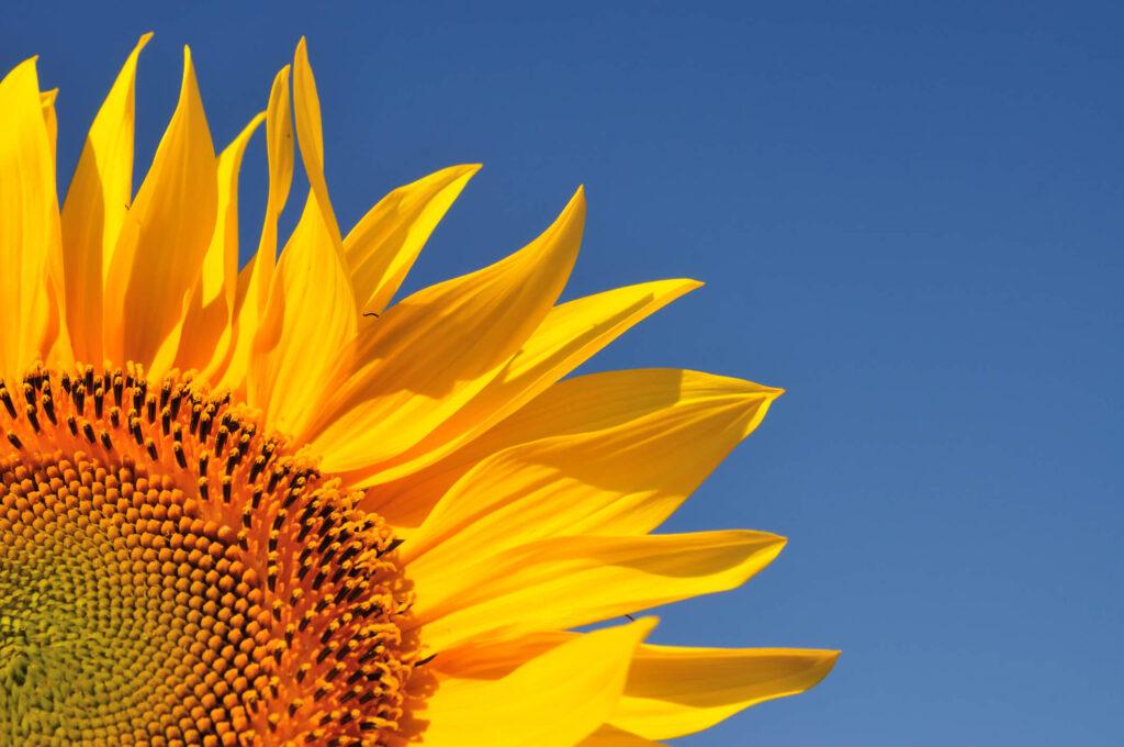 Descubra Como Cultivar Girassol Uma Das Flores Mais Lindas