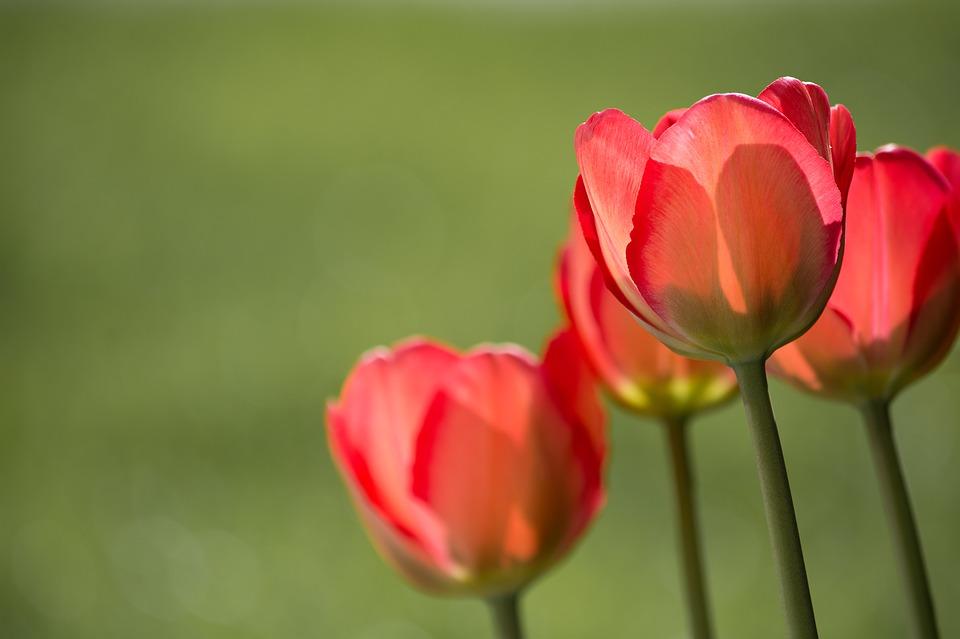 flores para eventos tulipa