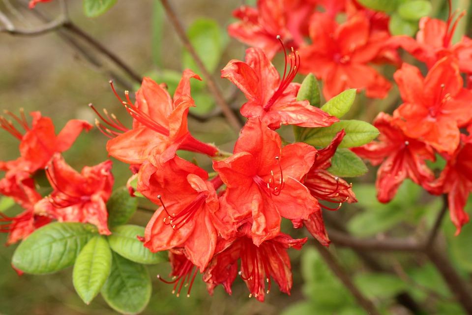 flores que trazem boas energias azaleia