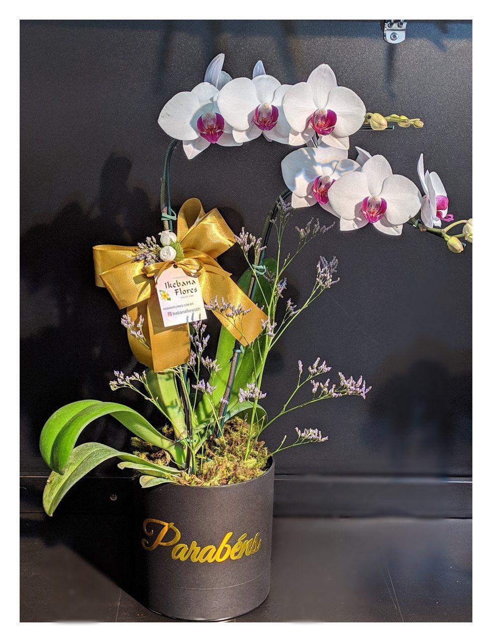 Orquídea Phalis Parabéns - Miolo roxo