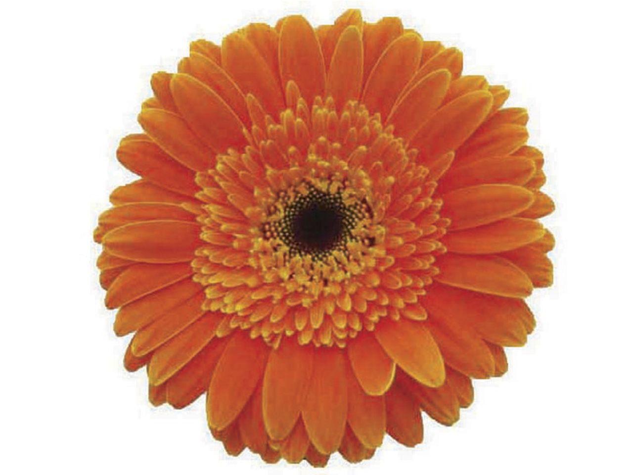 Maços de Gérberas laranja
