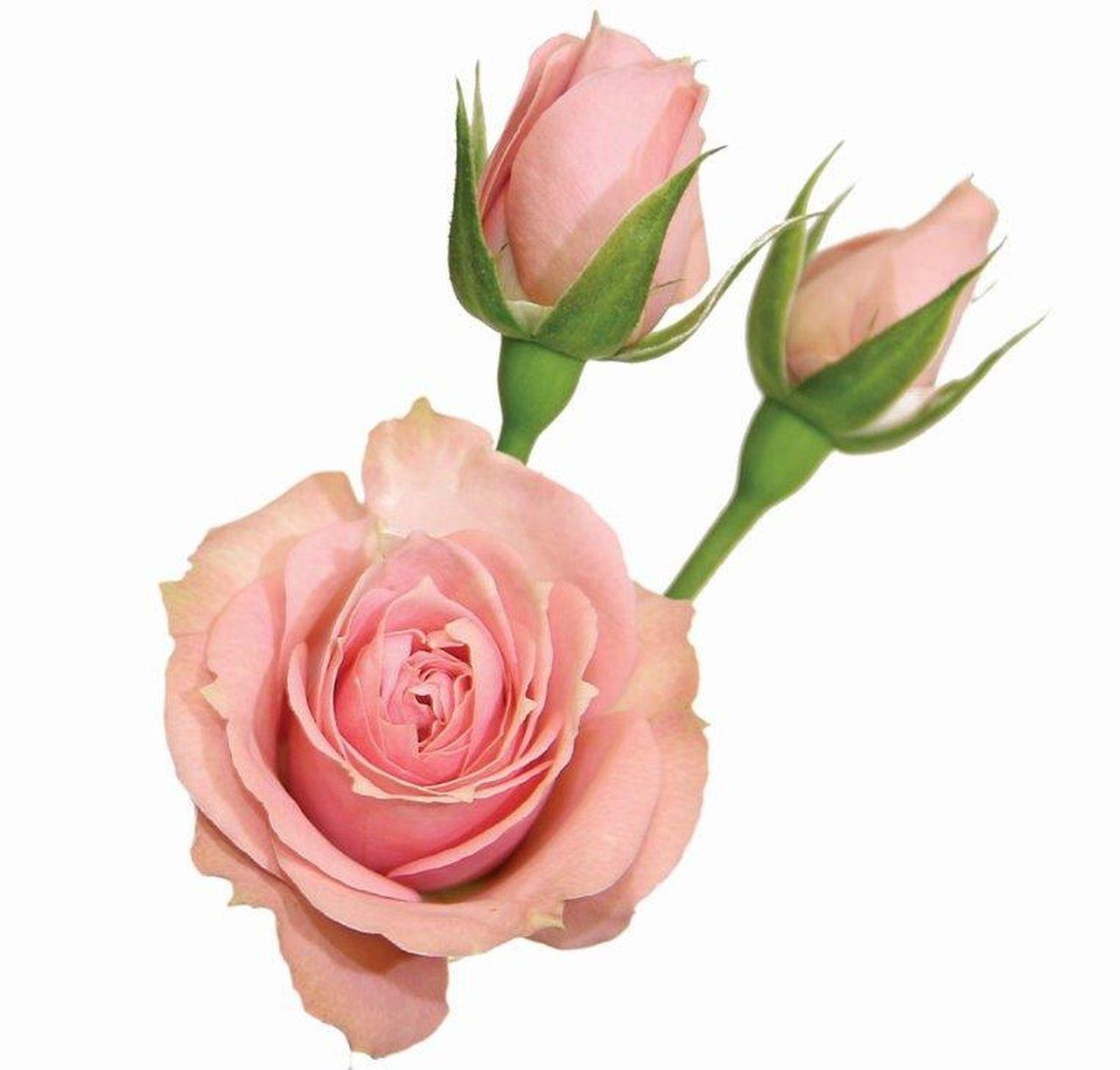 Maço de mini rosas cor de rosa
