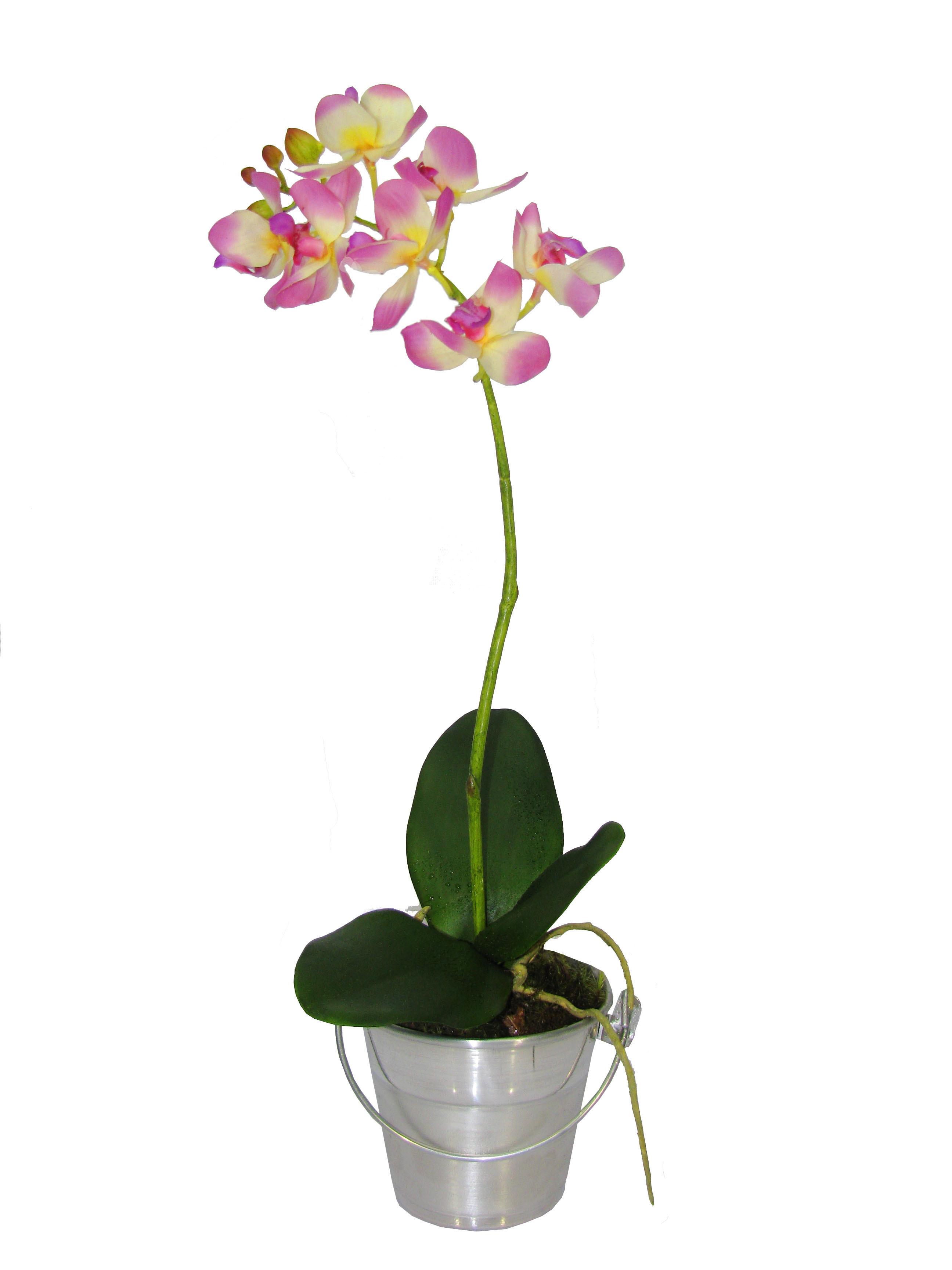 Orquídea Dendróbium