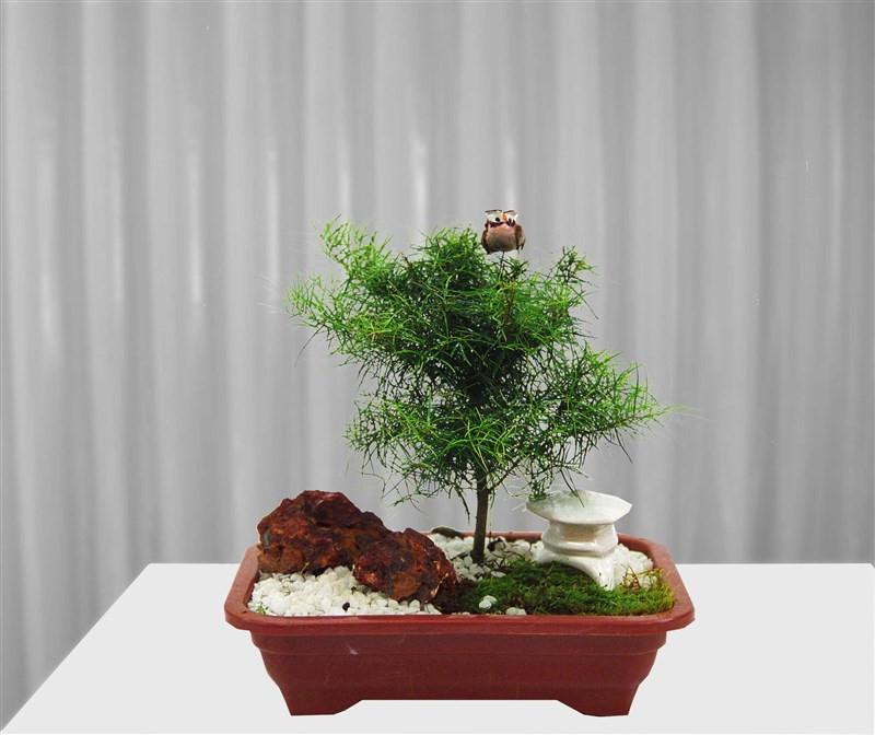 Bonsai de Eugênia