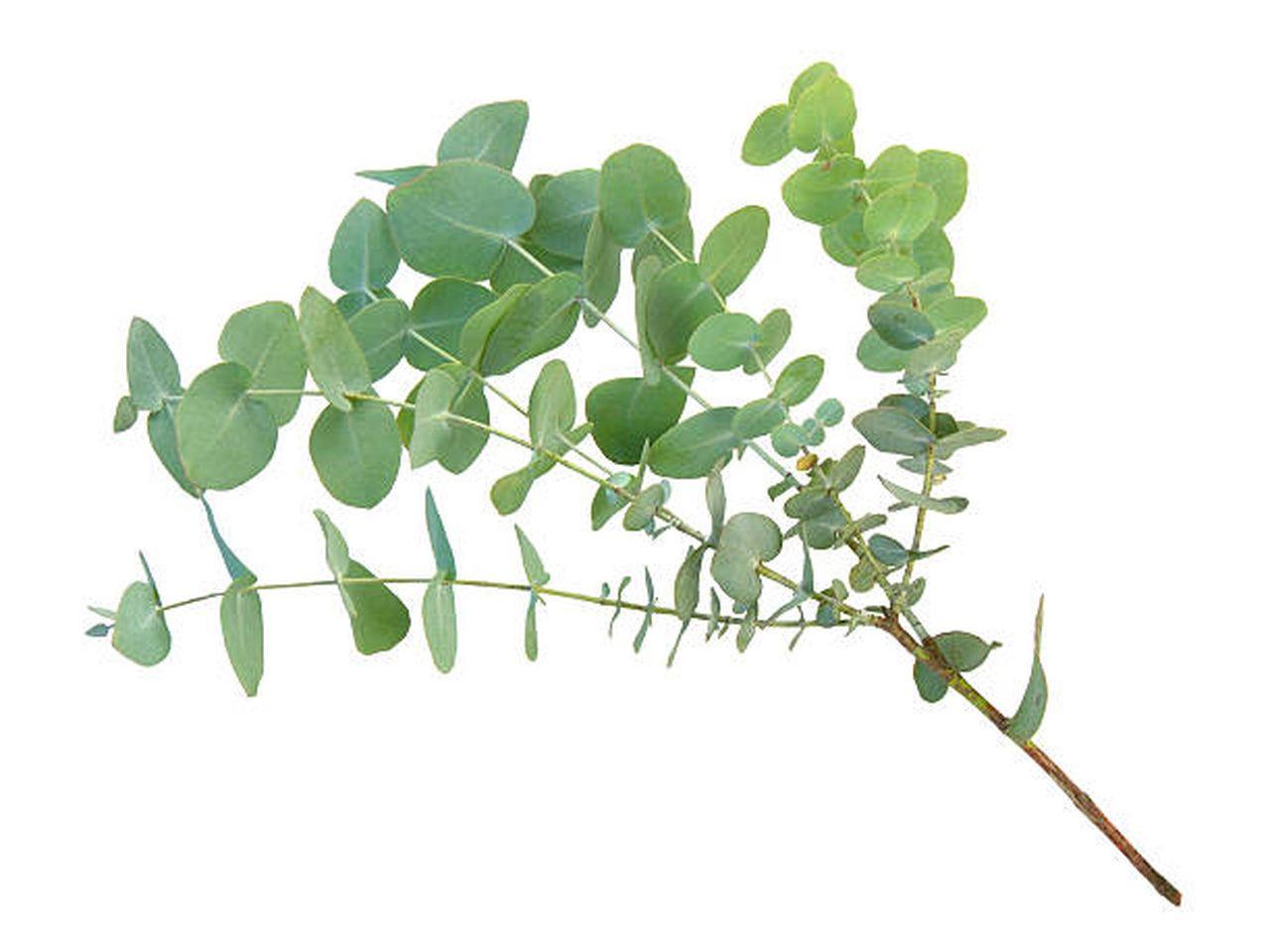 Maço de eucalipto
