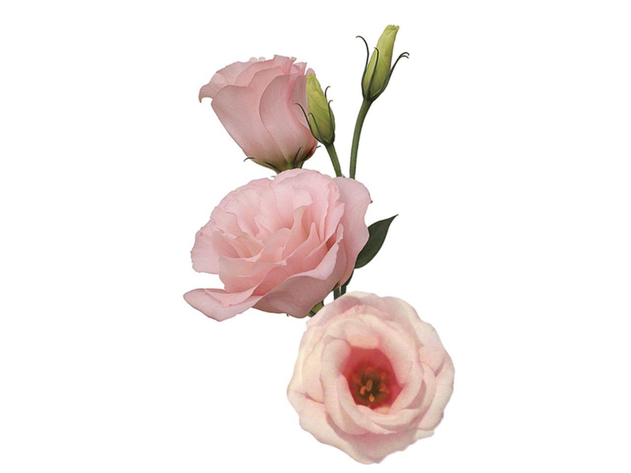 Maço de liziantus cor de rosa