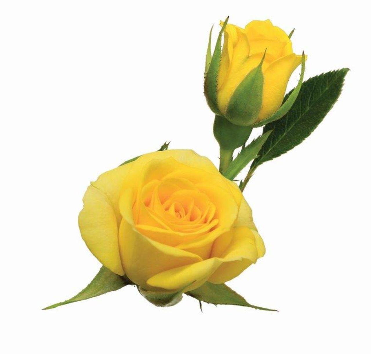 Maço de mini rosas amarela