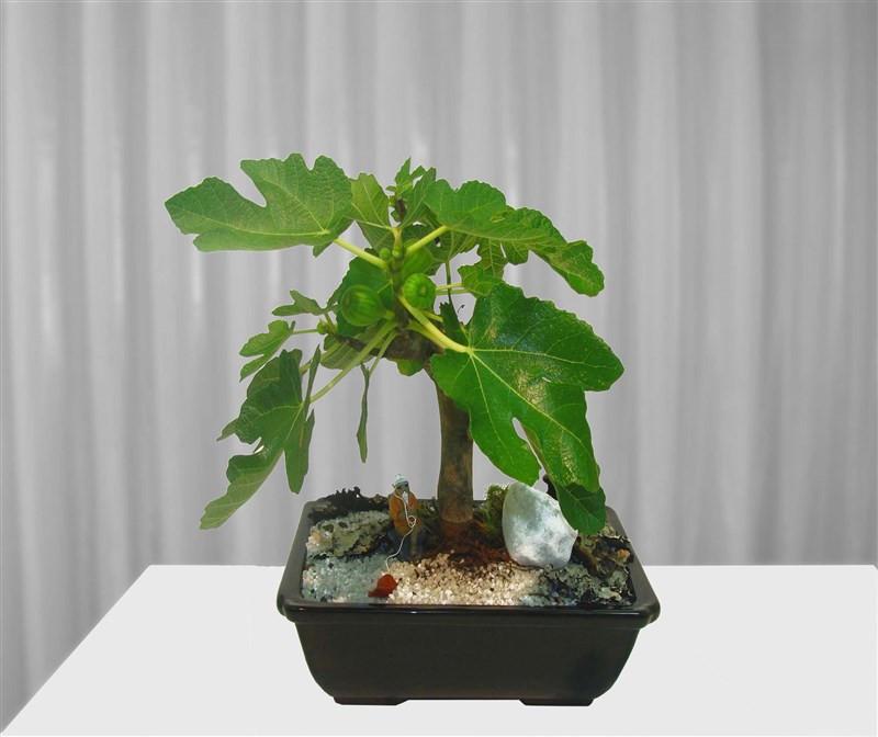 Bonsai de Figo 4 anos