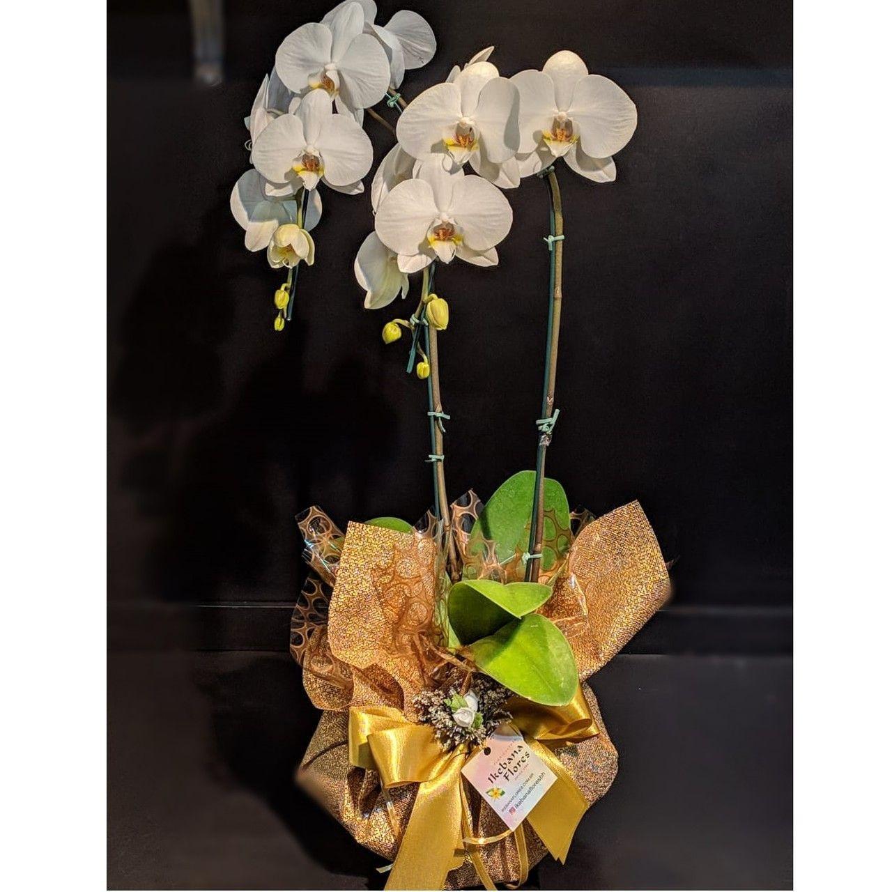 Orquídea Gold