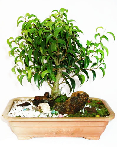 Bonsai Fícus