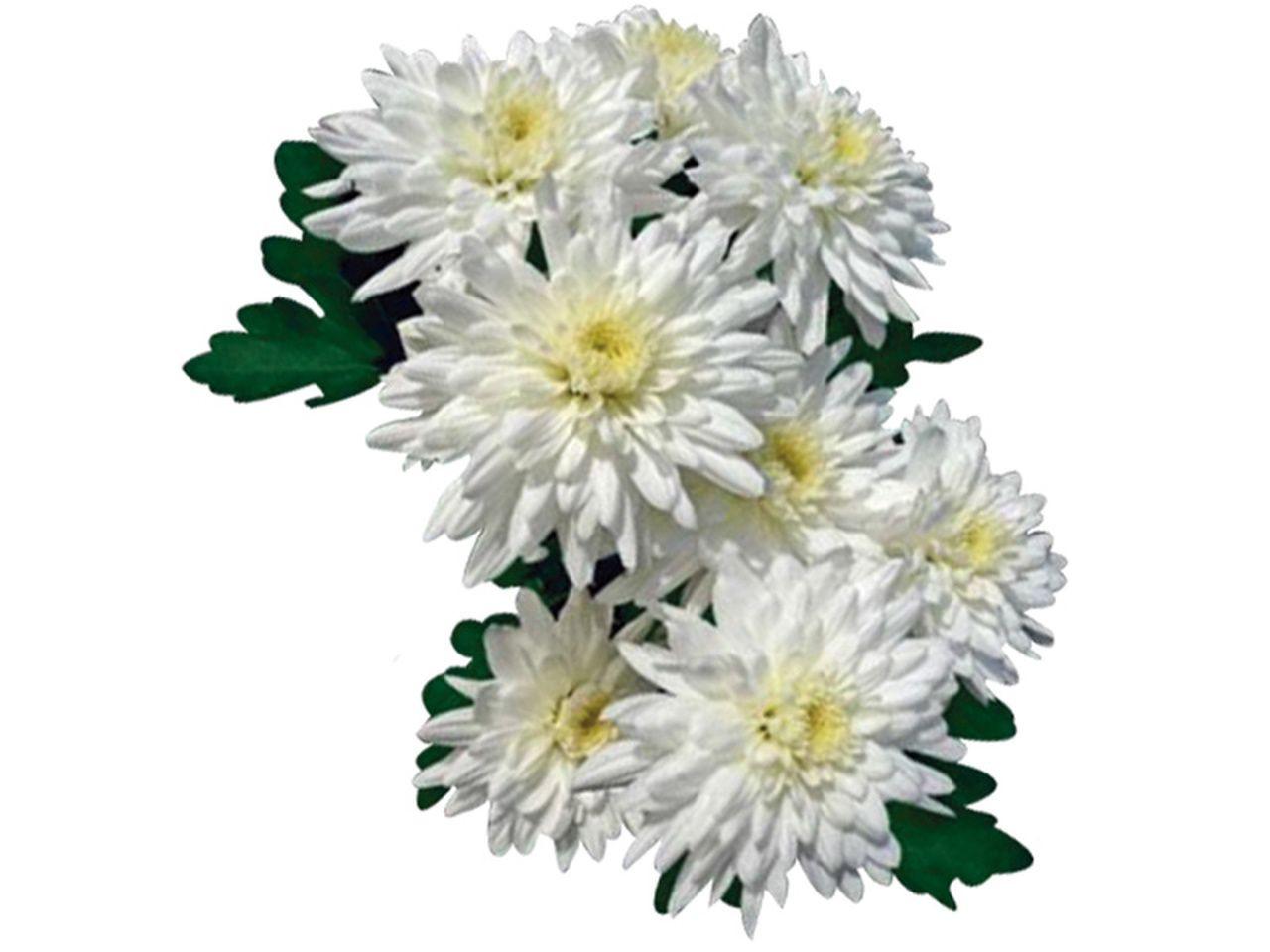 Flor do campo Calabria cor branca