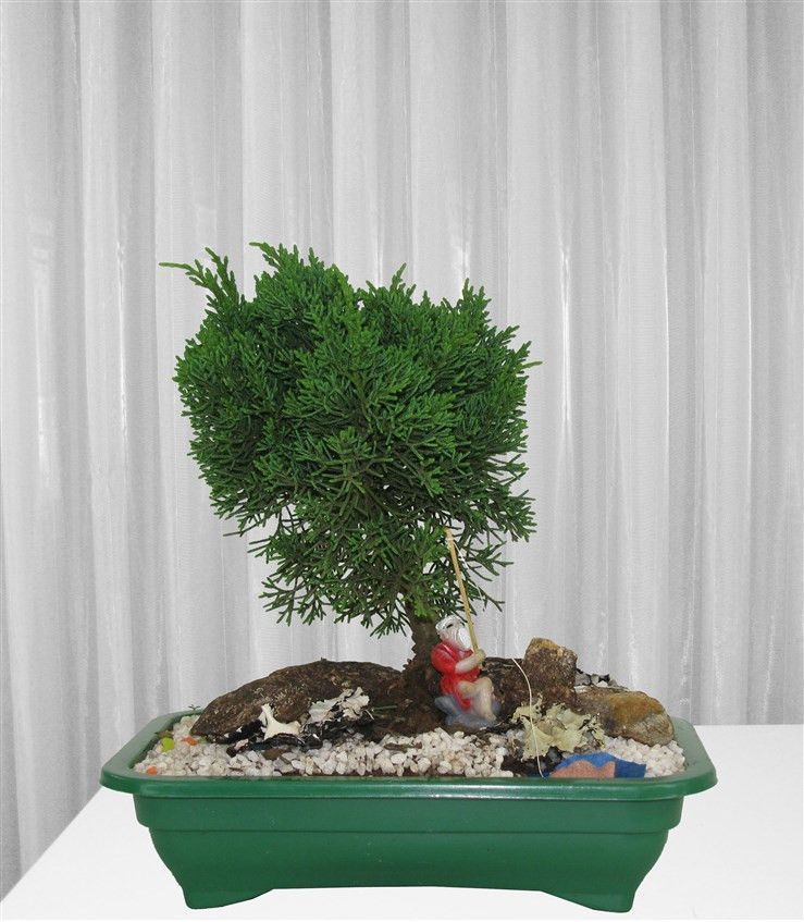 Bonsai Tuia Chimpaco