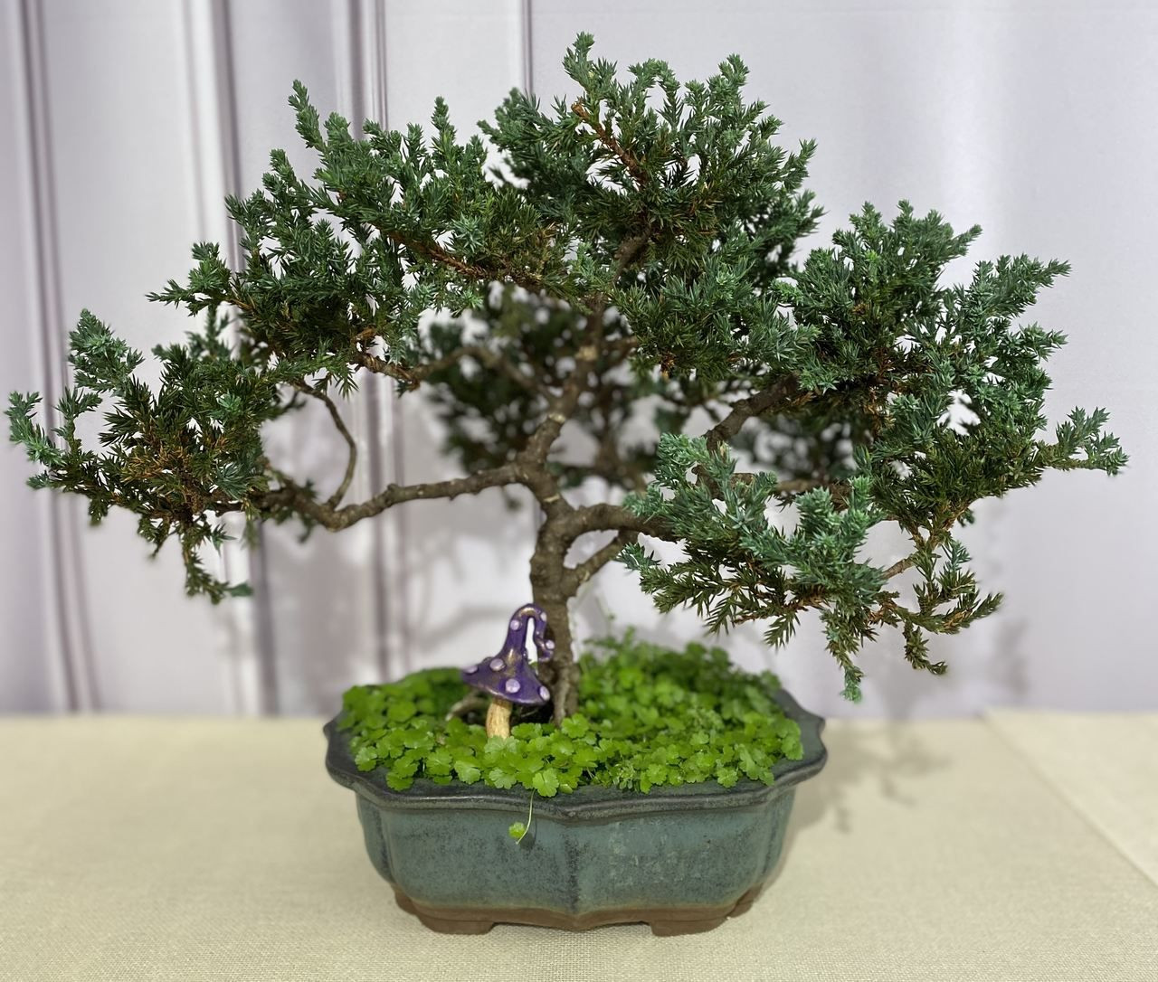 Bonsai de Tuia - 7 anos