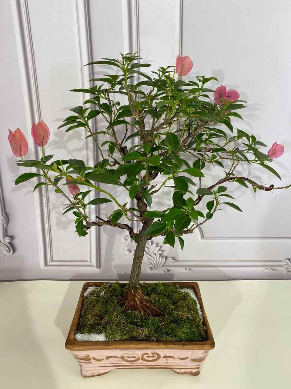 Bonsai colecionador 6 anos - Bougainvillea
