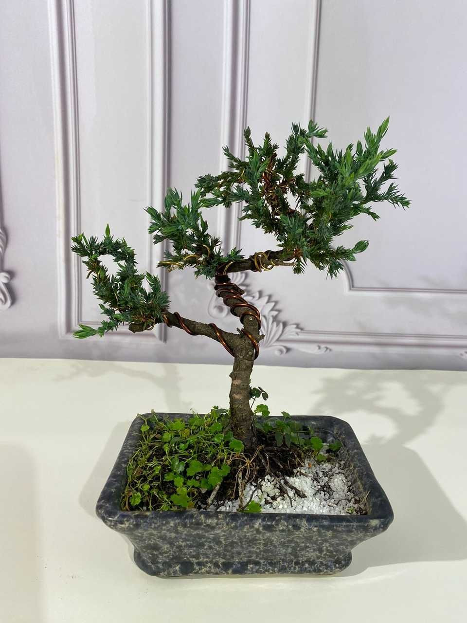 Bonsai de Tuia - 3 anos