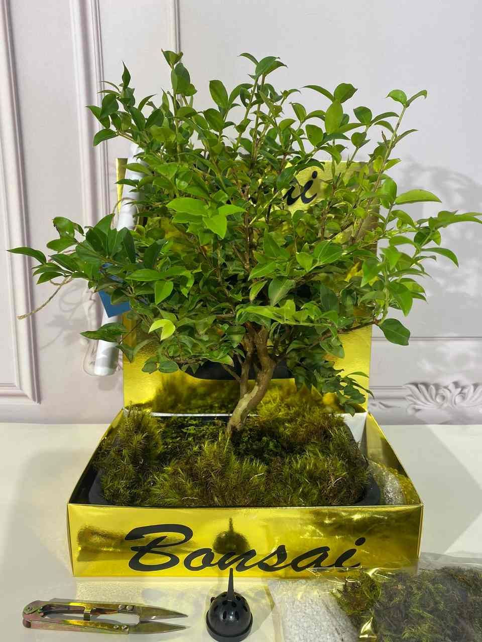 Kit  bonsai Jabuticaba