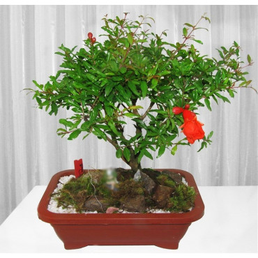 Bonsai de Romã