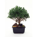 Bonsai de Buchinha