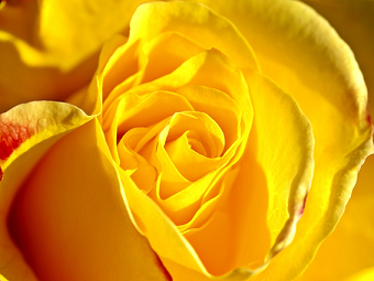 Rosa Colombiana Amarela Seu Significado Como Cuidar
